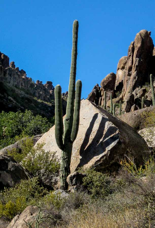 Saguaros greet hikers along the trail