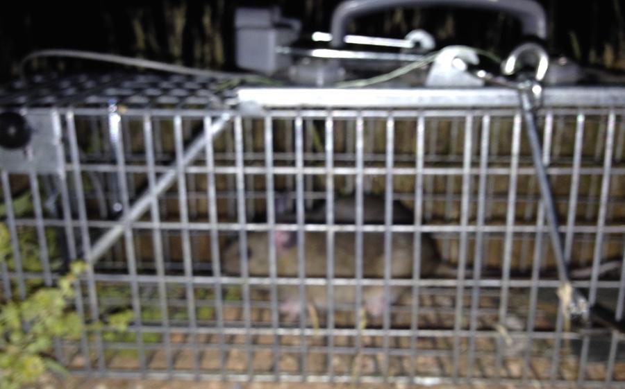 Desert Pack Rat Arizona