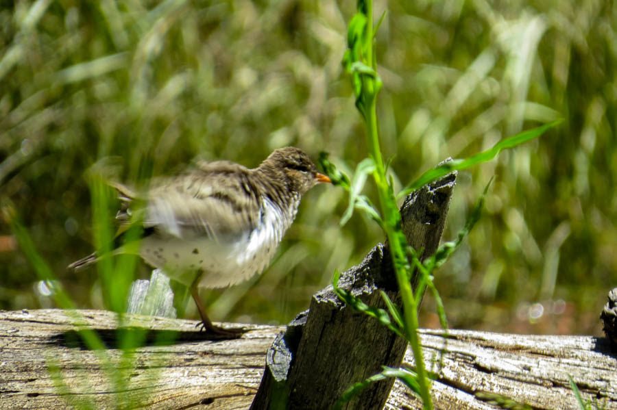 Spotted sandpiper picture number two