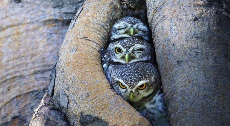 Owls - Winkin', Blinkin' and Nod