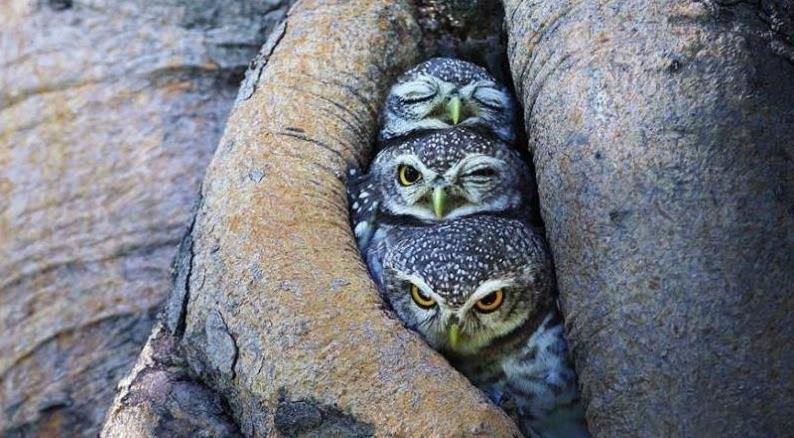 Owls - Winkin', Blinkin' and Nod