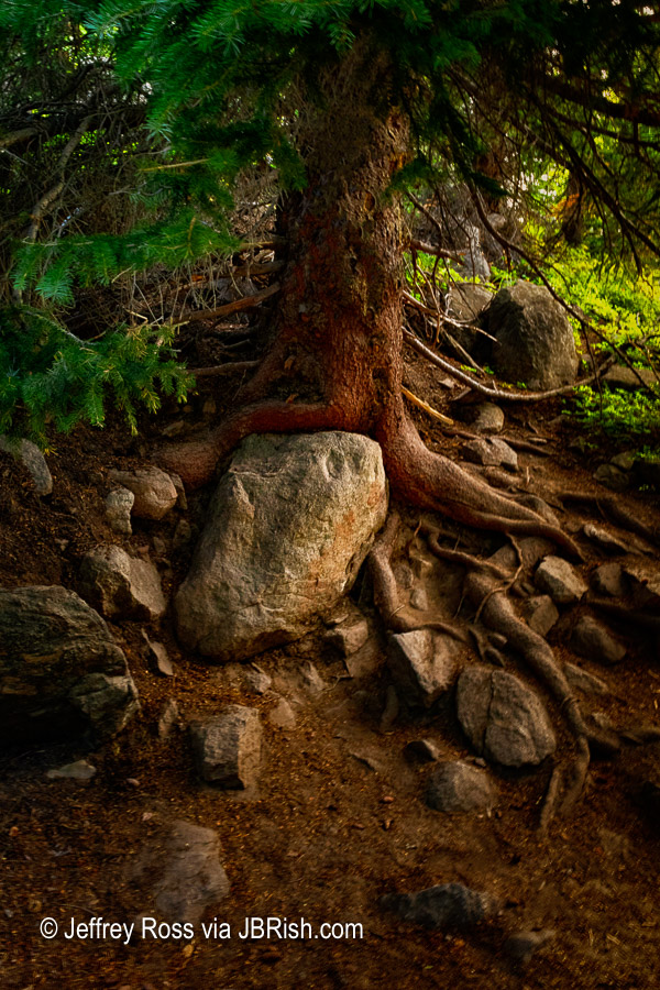 A Tree with Character - Rocky Mountain National Park