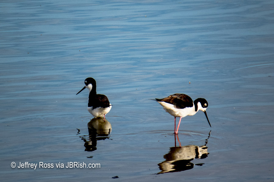 Black-necked Stilts looking for food