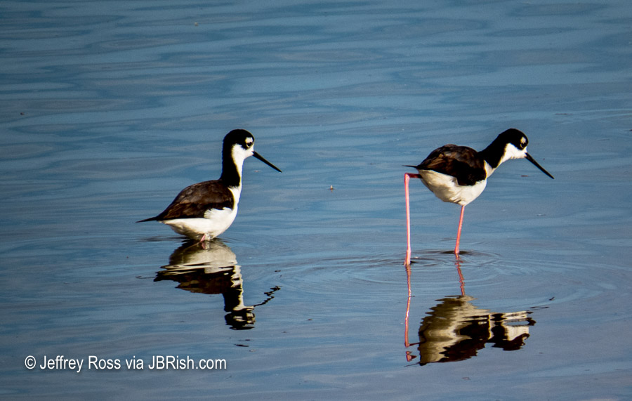 Long legs of the Black-necked Stilts