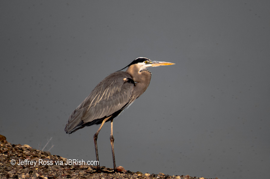 A wary Great Blue Heron keeping an eye on us