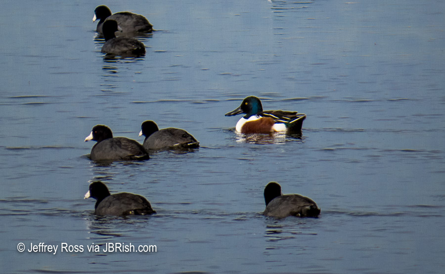 Northern Shoveler Duck among the Coots