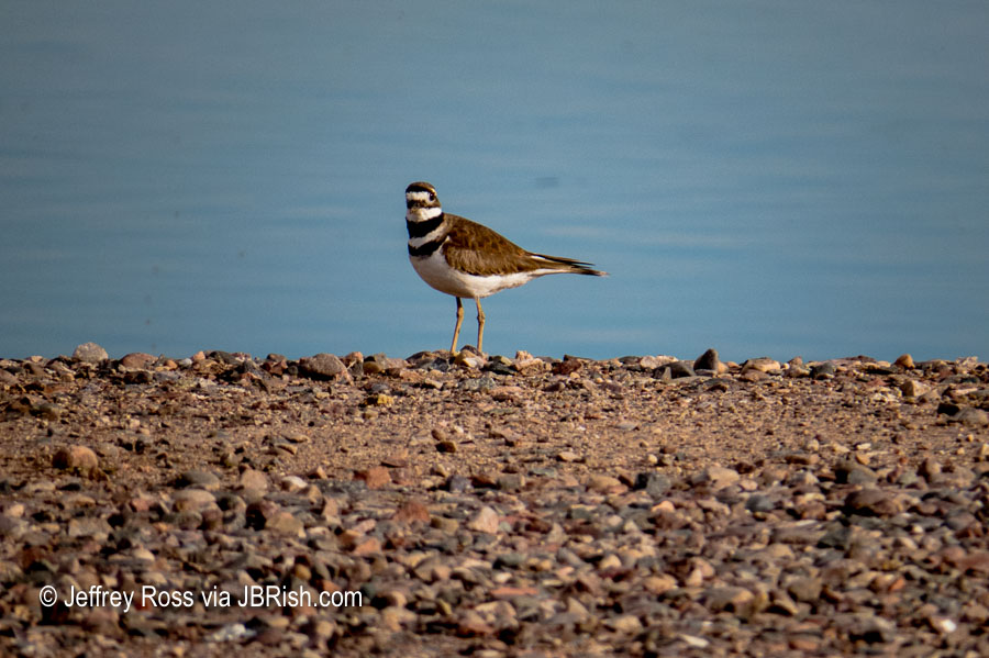 Watchfull Killdeer