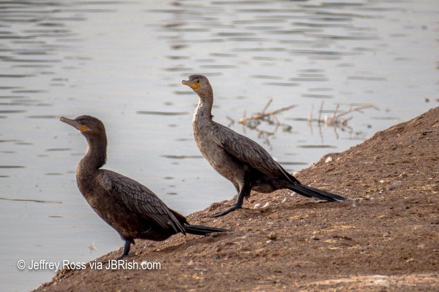 closer view of cormorants