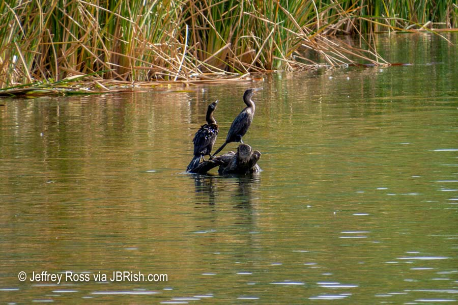 Two Cormorants sitting on the log