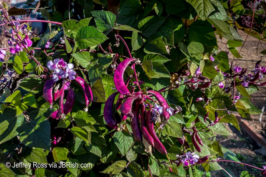 Hyacinth Bean closeup