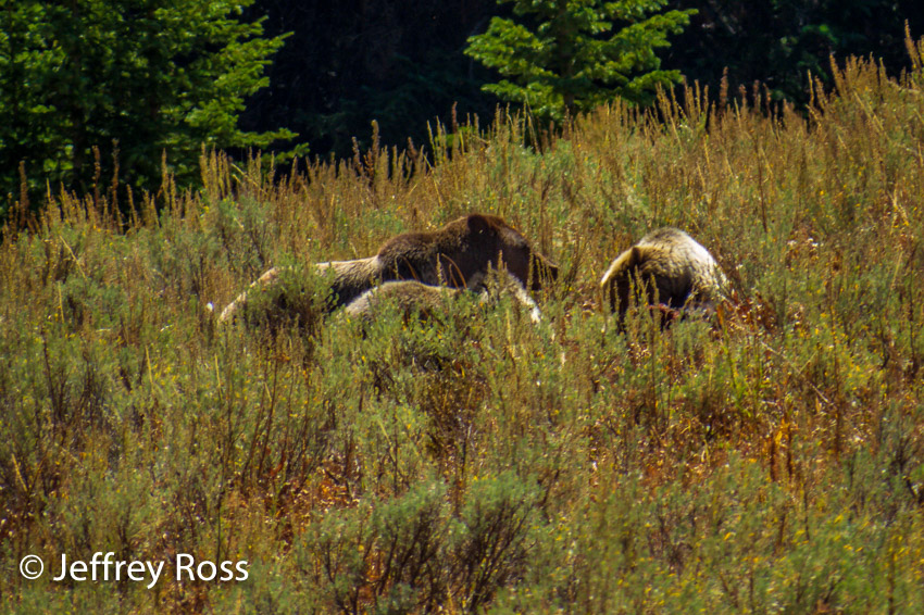 group of grizzly bears