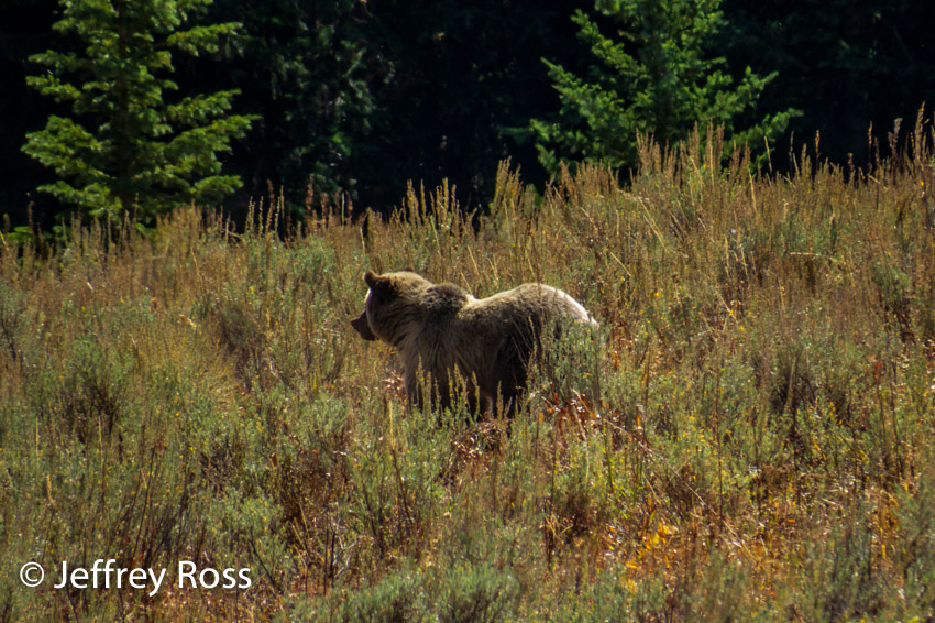 lone grizzly bear