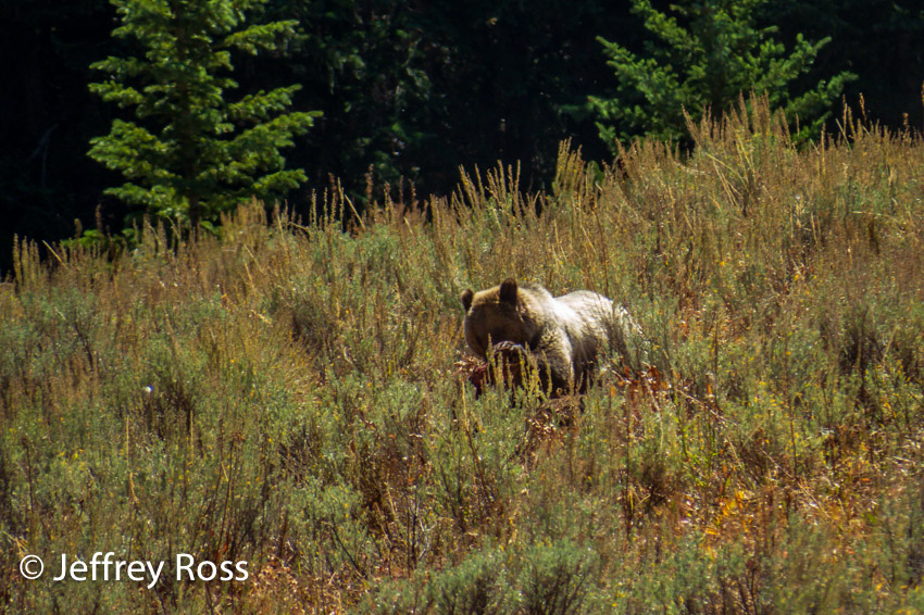 lone grizzly bear with carcass