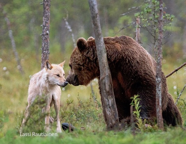 Wolf and Bear as partners