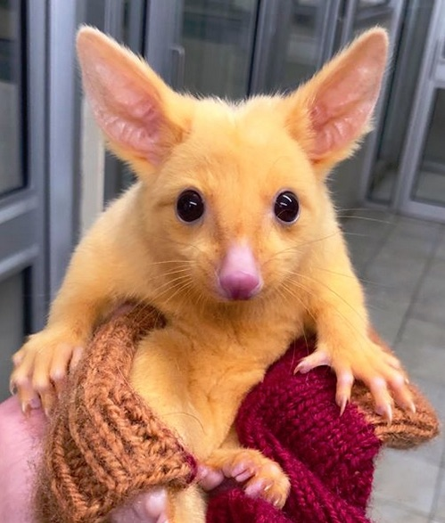 Rare Golden Possum serves as model for Pikachu from Pokémon