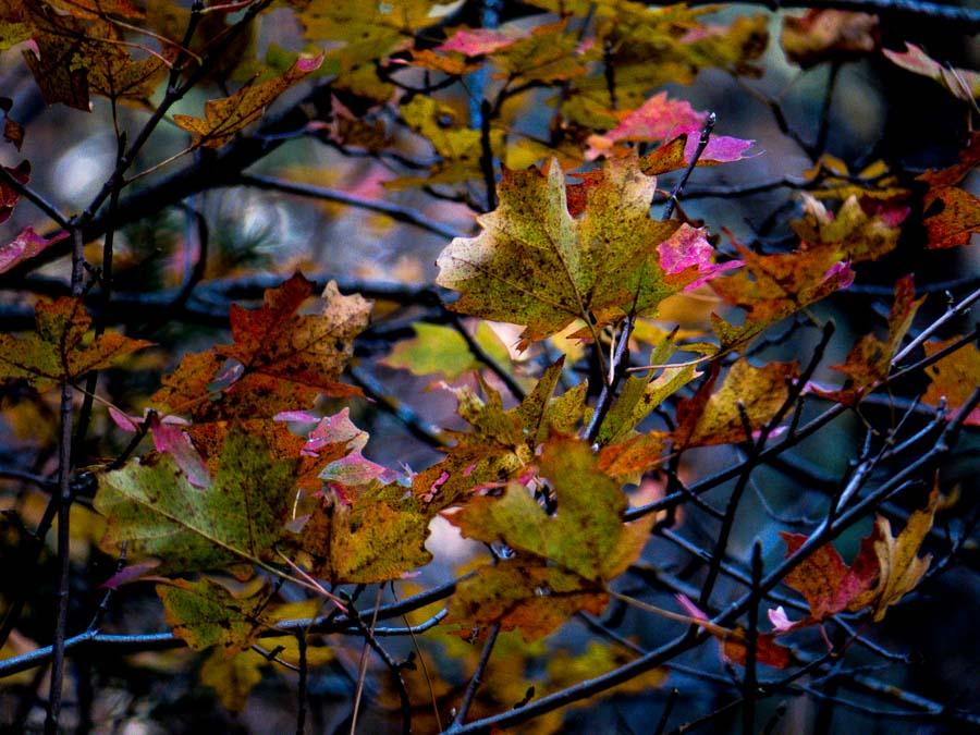 Fall colors of leaves - Oak Creek Canyon, AZ