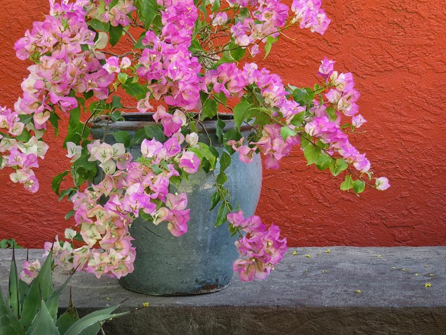 Pink and white Bougainvillea  - by J. Ross
